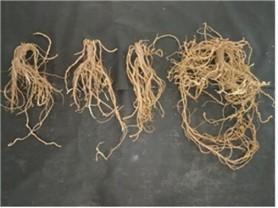 감초 재배, 원산지 중앙아시아․중국보다 한국이 유리