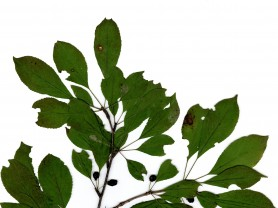 짝자래나무, 천연 항염증 소재 개발 가능성 열어