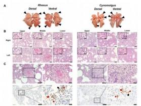 코로나19, 영장류 모델 실험서 혈관염증 유발 및 면역억제현상 확인