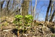대극과의 맹독 식물 '낭독', 백두대간 분포 확인