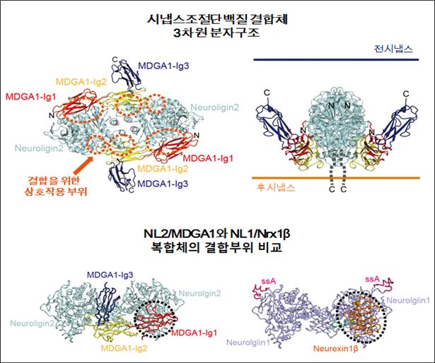 시냅스 조절 핵심단백질 구조 및 작용 메커니즘 규명