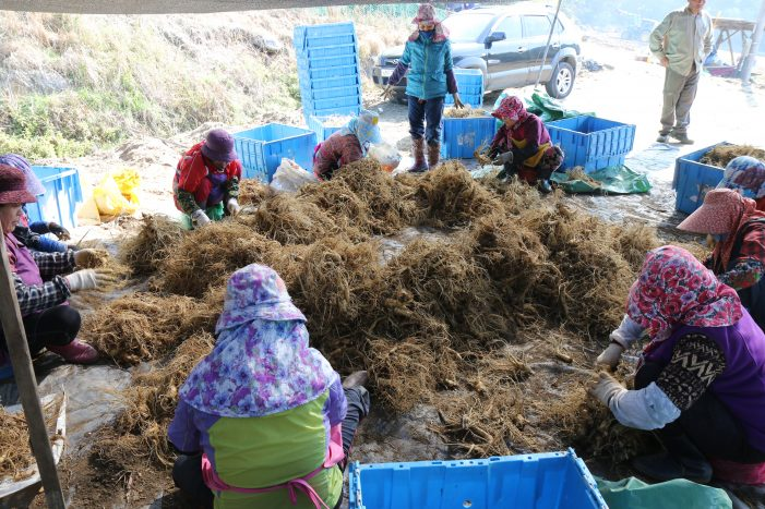 새롬제약, 해담은 인삼 재배단지서 인삼 수확 '풍성'