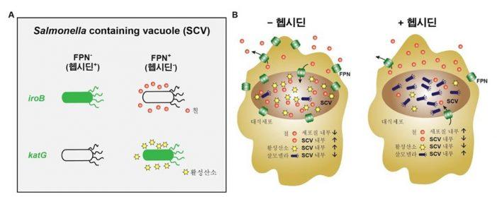 철 농도 조절을 통한 세균감염 제어 가능성 열려